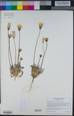 Image of Anisocoma acaulis