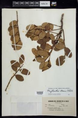 Image of Phyllanthus ekmanii