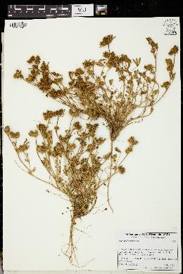 Image of Trifolium bocconei