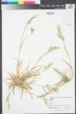 Image of Bromus catharticus