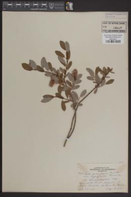 Salix pedicellaris var. hypoglauca image
