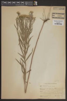 Image of Euthamia remota