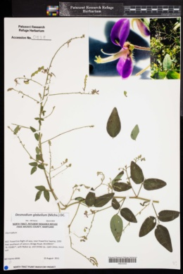 Image of Desmodium glabellum
