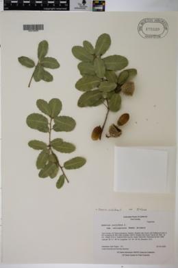 Quercus coccifera image
