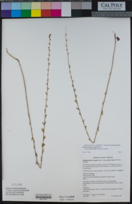 Stephanomeria virgata image