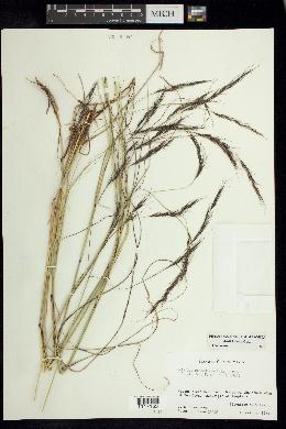 Aristida laxa image