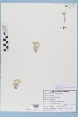 Physaria cinerea image
