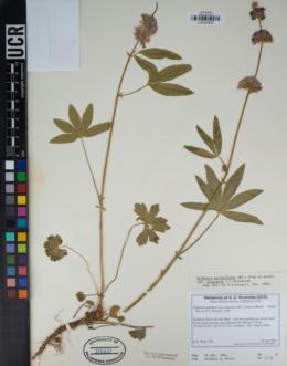 Image of Sidalcea sparsifolia
