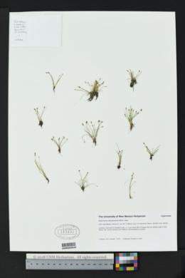 Eleocharis coloradoensis image