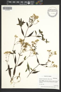 Image of Ageratum riparium