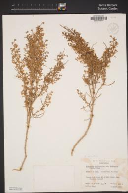 Image of Artemisia nesiotica