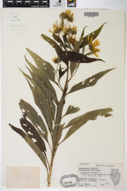 Helianthus grosseserratus image