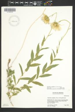Xylorhiza tortifolia image