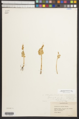 Botrychium pinnatum image