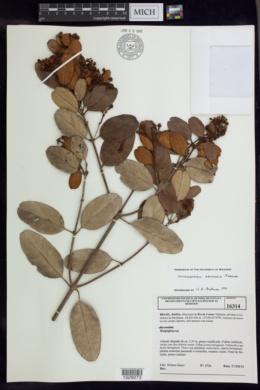 Image of Heteropterys arenaria