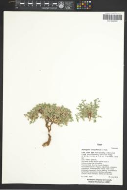 Astragalus sesquiflorus image