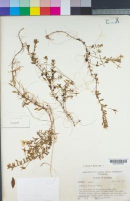 Image of Ludwigia arcuata