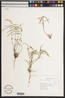 Image of Boechera falcatoria