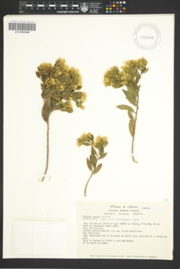 Image of Trixis inula