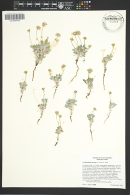 Trichoptilium incisum image