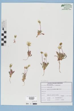 Agoseris heterophylla image