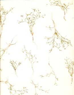 Image of Navarretia capillaris