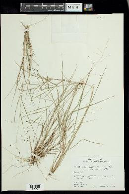 Tridens eragrostoides image