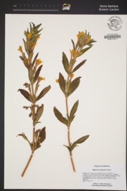 Diplacus calycinus image