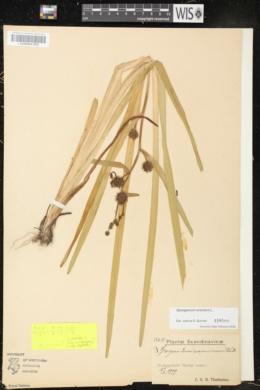 Sparganium erectum image