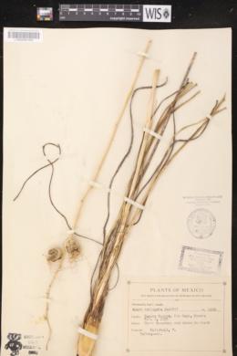 Image of Agave variegata