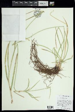 Image of Cyperus dioicus