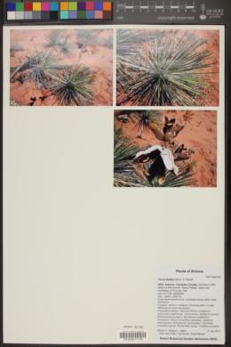 Yucca baileyi image
