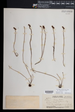 Schizaea malaccana image