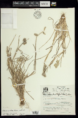 Image of Eleusine multiflora