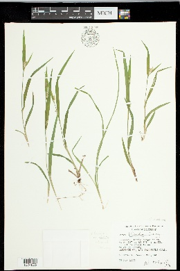 Carex kraliana image