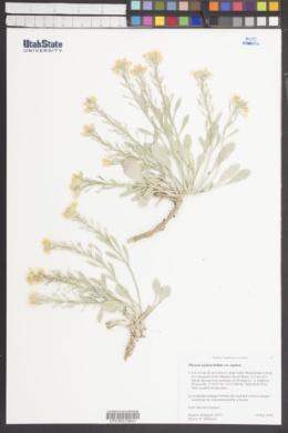Physaria lepidota image
