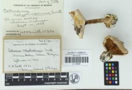 Cortinarius calyptrodermus image
