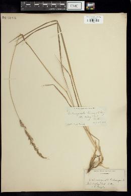 Image of Calamagrostis pickeringii