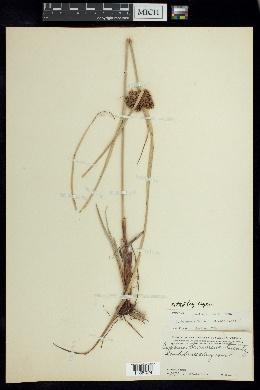 Cyperus planifolius image