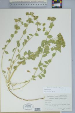 Euphorbia incisa image