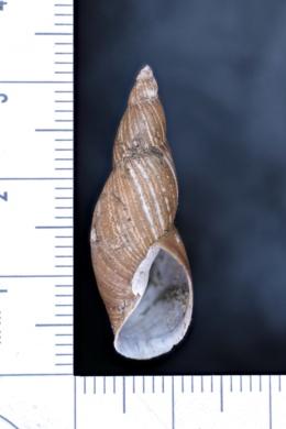 Image of Stagnicola exilis