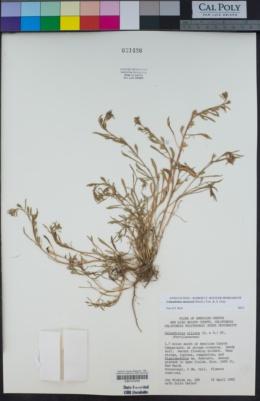 Calandrinia menziesii image