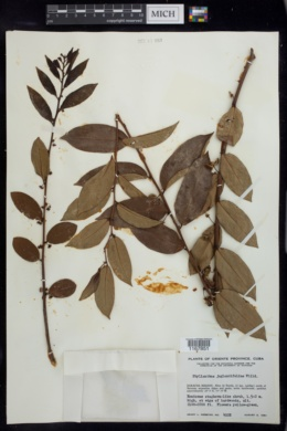 Phyllanthus juglandifolius image