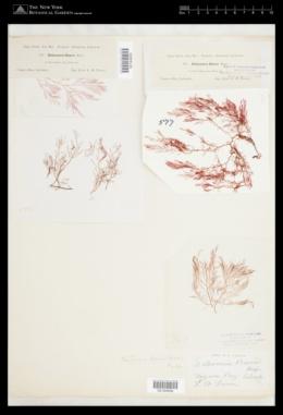 Pantoneura fabriciana image