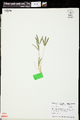 Image of Trifolium alpinum
