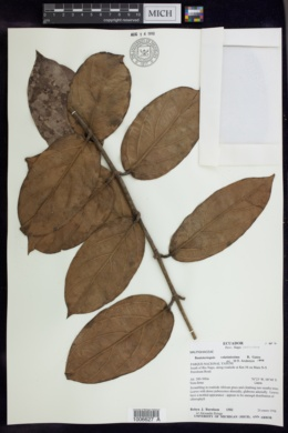 Image of Banisteriopsis velutinissima