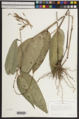 Image of Streptochaeta sodiroana