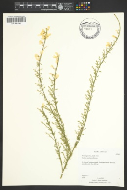 Image of Genista spachiana
