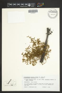 Image of Arceuthobium laricis