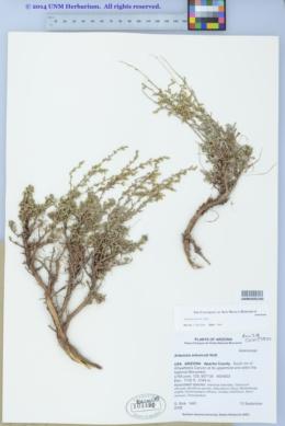 Artemisia nova image